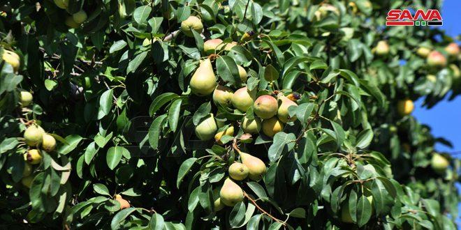 Ожидаемый урожай груши в Сувейде оценили в 1 405 тонн
