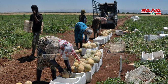 Bereket Mevsimi.. Süveyda Kırsalı Saale Köyünden Kavun Hasadı – Foto