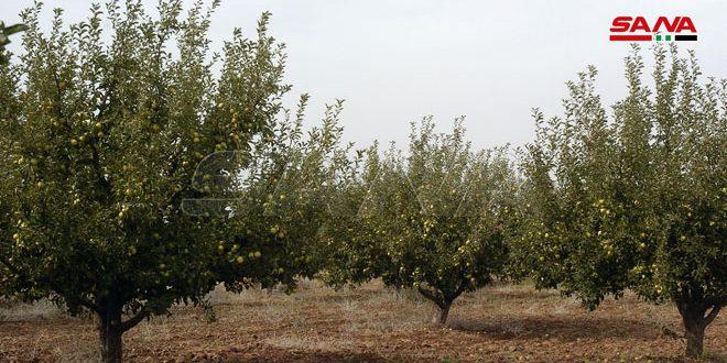 Süveyda'nın Elma Üretim Tahmini 45 Bin Ton