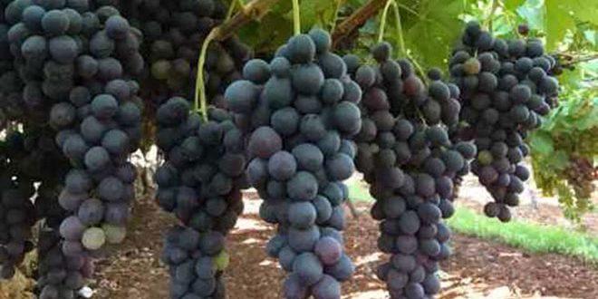 بدء استلام محصول العنب العصيري الأسود في السويداء