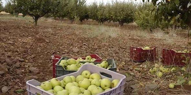 السورية للتجارة بالسويداء تفتح باب شراء التفاح من وحدات التبريد بشكل مباشر