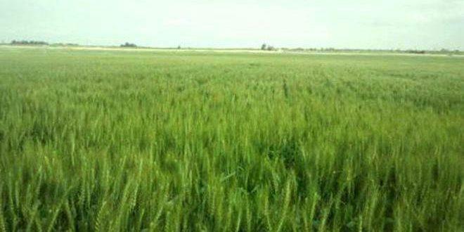 تنفيذ نحو 90 بالمئة من خطة زراعة محصول القمح في الغاب