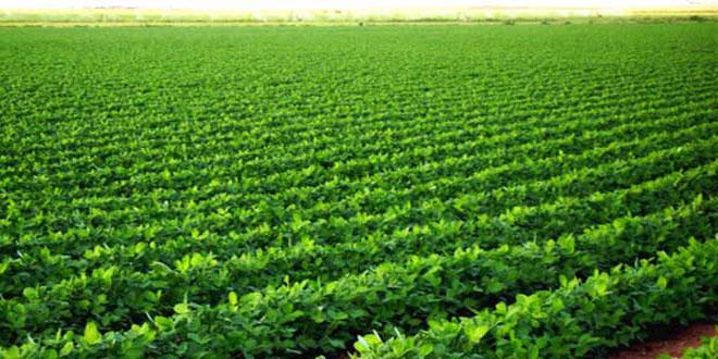 زراعة نحو ألفي هكتار بمحاصيل البقوليات الغذائية بمنطقة الغاب