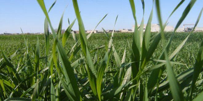 زراعة الحسكة: واقع محصولي القمح والشعير جيد ويبشر بموسم وافر
