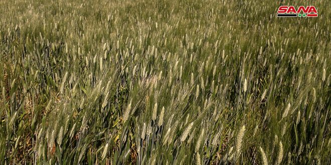 توقعات بتسويق 20 ألف طن قمح من الحقول الإكثارية في درعا