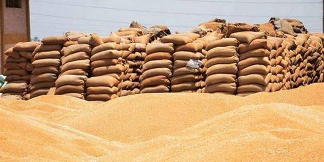 إكثار بذار حماة يستلم نحو ستة آلاف طن من القمح والشعير