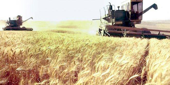 حصاد أكثر من 6 آلاف هكتار من محصولي القمح والشعير بالسويداء