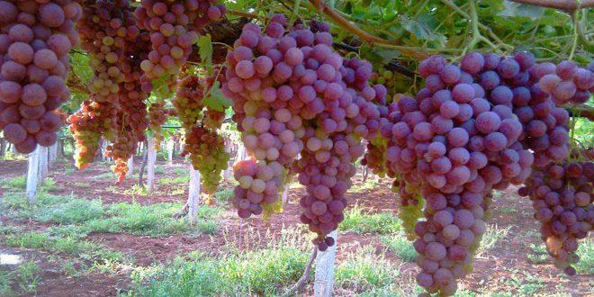 تقديرات بإنتاج 16 ألف طن من العنب في درعا