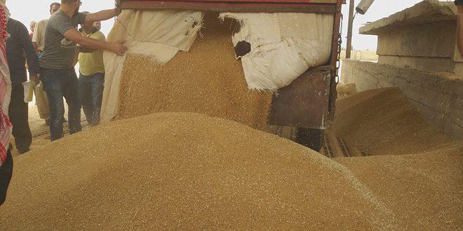 """24 حزيران موعد استلام القمح """"دوغما"""" من مزارعي السويداء"""