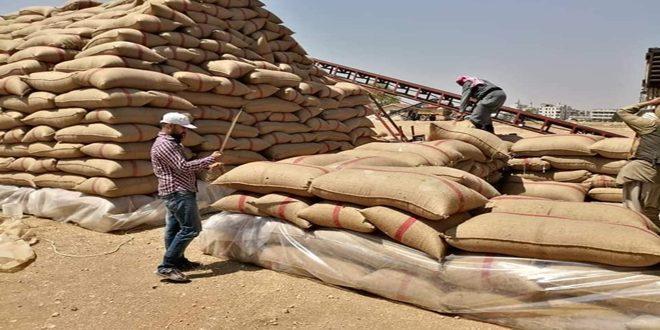 الزراعة: استلام أكثر من 435 ألف طن من القمح