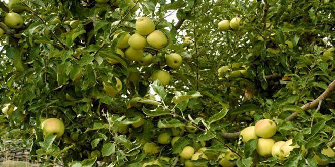 6931 طناً… تقديرات إنتاج التفاح بحماة للموسم الحالي