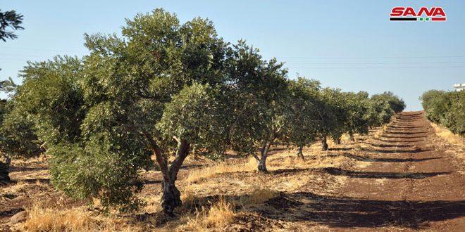 نحو 64 ألف طن تقديرات إنتاج ثمار الزيتون بحماة للموسم الحالي
