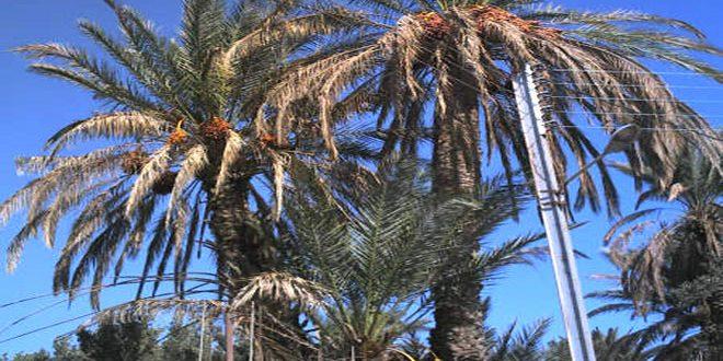 زراعة حمص تتوقع إنتاج 1475 طناً من البلح