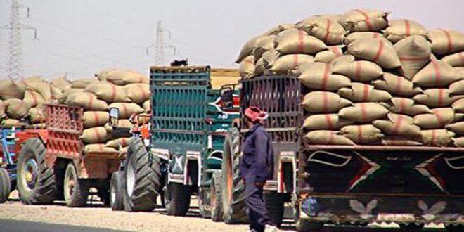 تسويق 9500 طن من القمح إلى فرع حبوب دير الزور