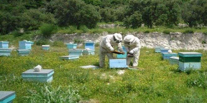 انتعاش تربية النحل في وادي النضارة بحمص.. والمربون يطالبون بدعم تسويق العسل