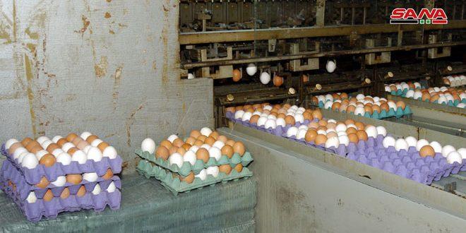 منشأة دواجن السويداء تبيع الدجاج البياض للمواطنين بأسعار رمزية