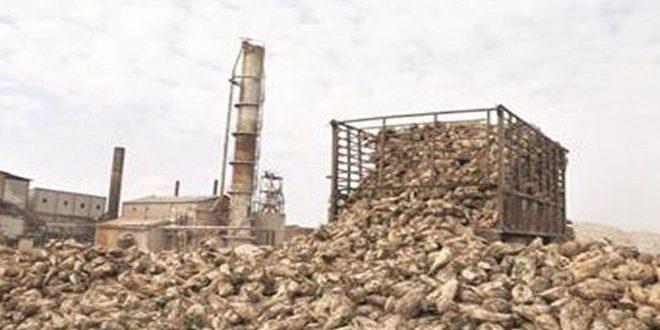 237 مليون ليرة قيم محصول الشوندر السكري المسوق لشركة سكر سلحب