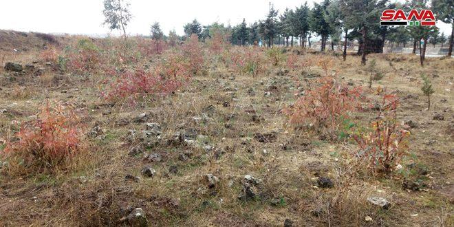 1300 دونم خطة تحريج زراعة القنيطرة للموسم الشتوي