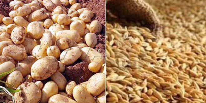 إكثار البذار: بيع أكثر من 22 ألف طن من القمح بحماة وأكثر من 200 طن بذار البطاطا بالسويداء