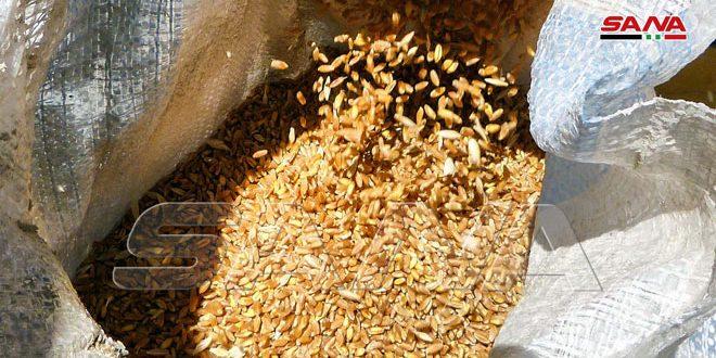 إكثار بذار حماة يبيع أكثر من 23 ألف طن من بذار القمح خلال الموسم الحالي