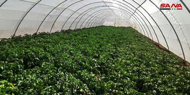 تزويد المشروع الوطني لإكثار بذار البطاطا بالسويداء بخمسين بيتاً شبكياً جديداً