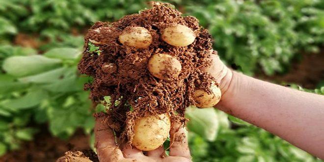 إكثار بذار إدلب ينهي توزيع بذار البطاطا المستوردة على الفلاحين المكتتبين