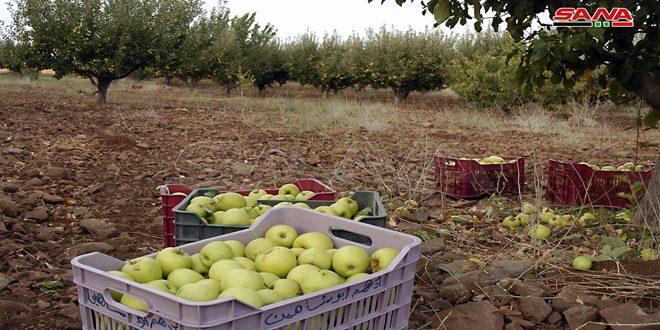 إنتاج التفاح في السويداء تجاوز 21 ألف طن وتسويقه في المراحل الأخيرة