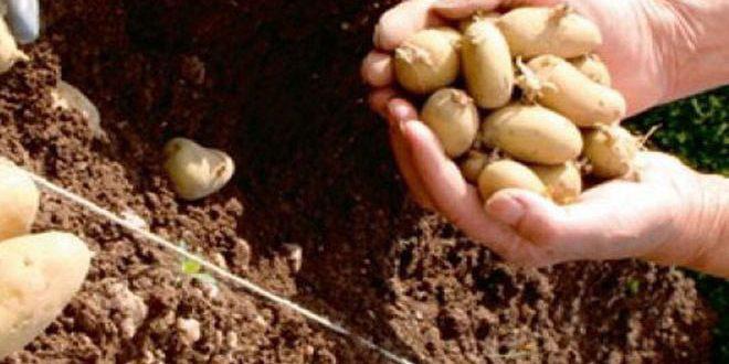 حماة: توقعات بإنتاج 23 ألف طن من البطاطا الربيعية في منطقة الغاب