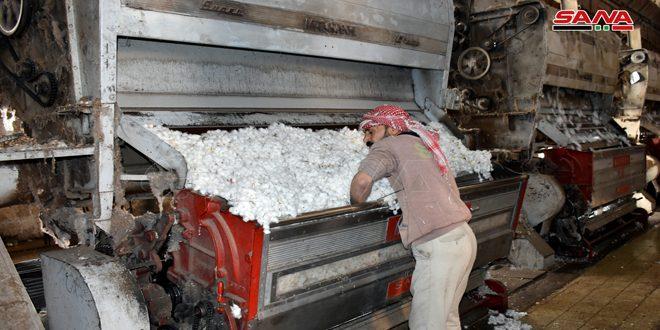 حلج أكثر من 15700 طن من الأقطان المحبوبة في محلج الفداء