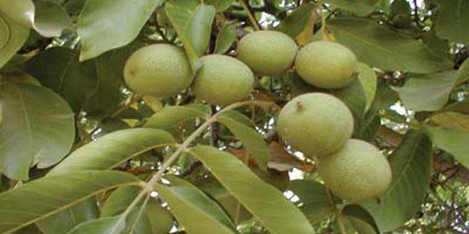 زراعة حمص تقدر إنتاج المحافظة من الجوز بـ 1636 طناً