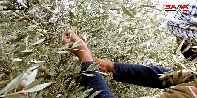 نحو92 ألف طن تقديرات إنتاج الزيتون في طرطوس