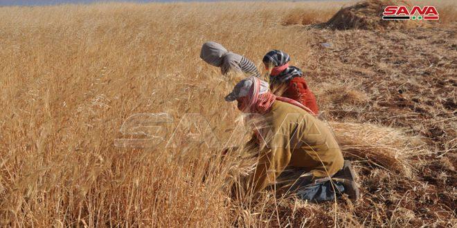 تواصل عمليات حصاد القمح في السويداء
