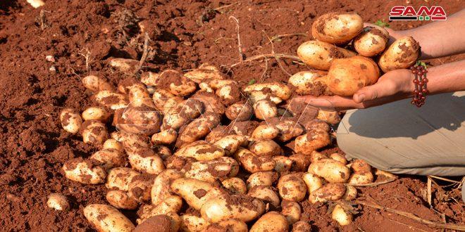 توقعات بإنتاج 66 ألف طن من محصول البطاطا للعروة الخريفية بحمص