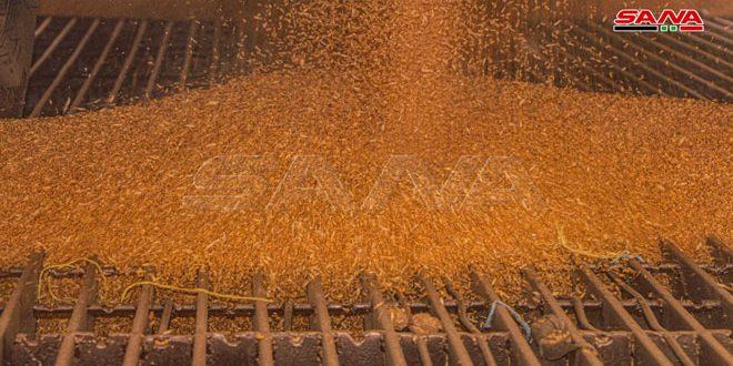 غربلة وتعقيم 16 ألف طن من بذار القمح بحماة