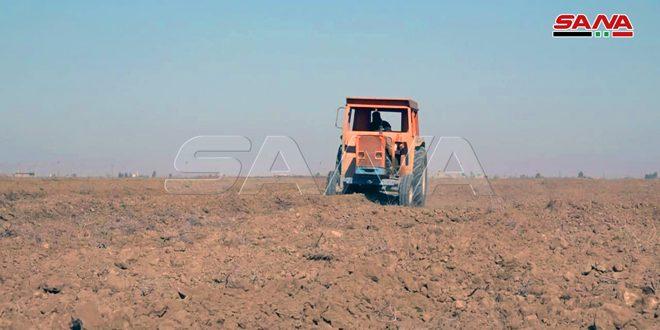 دير الزور.. تنفيذ كامل الخطة الزراعية لمحصول القمح والبالغة 25 ألف هكتار