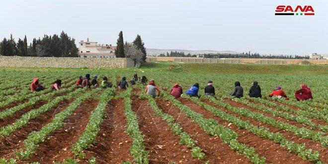بدء زراعة القطن والخضار الصيفية في حلب