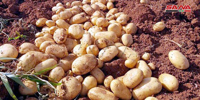 نحو ثلاثة آلاف هكتار المساحات المزروعة بمحصول البطاطا في درعا