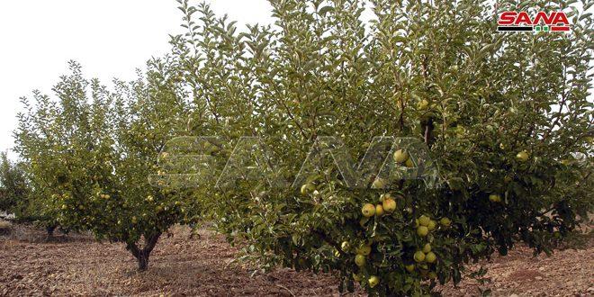 200 طن كميات التفاح المستلمة من المزارعين في السويداء