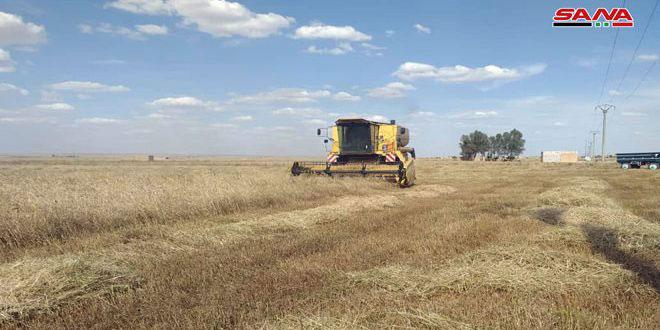 340 ألف طن تقديرات إنتاج محصولي القمح والشعير في الحسكة