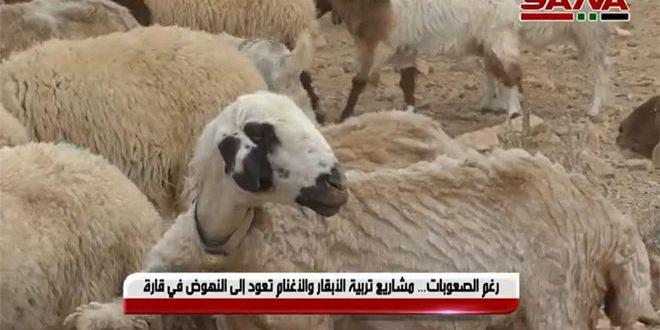 رغم الصعوبات… مشاريع تربية الأبقار والأغنام تعود إلى النهوض في قارة-فيديو