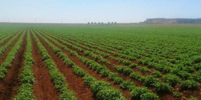 بدء عمليات قلع بذار البطاطا في الحقول الإكثارية المتعاقد معها في حماة