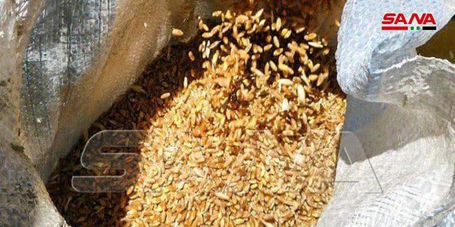 3500 طن بذار قمح معقم ومغربل جاهزة للبيع للمزارعين في مؤسسة إكثار البذار