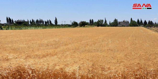 أكثر من 36 ألف هكتار خطة زراعة القمح في حمص
