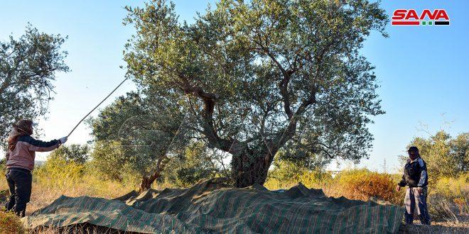 مواعيد قطاف الزيتون والطرق السليمة للجني والتعبئة في الساحل السوري